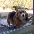Ce splendide chien ne comprend pas pourquoi la vitrine ne s'ouvre pas. Trop drôle !