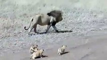 Quand maman lionne est occupée et que papa lion fait du babysitting. Hilarant !