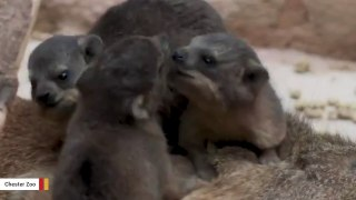 Rock Hyrax Triplets Born At UK's Chester Zoo