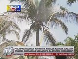 Kabayan Special Patrol: How to prevent 'Coco-lisap' infestation