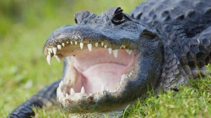 Husband Comforts Wife After She's Bitten by Alligator