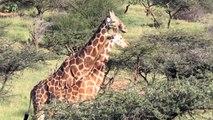 """En Afrique, la girafe et la menace """"d'extinction silencieuse"""""""