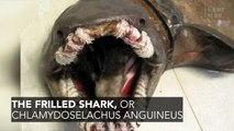 A Very Rare Frilled Shark Was Discovered In The Depths Off The Coast Of Portugal