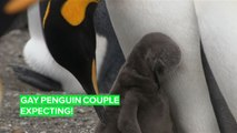 Egg Watch: A gay penguin couple is expecting