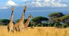 Les girafes sont désormais menacées d'une « extinction silencieuse » en Afrique !