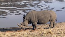 Mud, glorious mud! Huge rhino bathes in South African watering hole