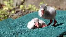 Flamingo Chicks Learn to Walk -