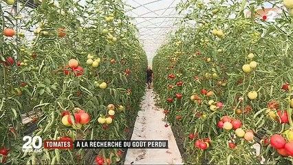 Pourquoi les tomates n'ont-elles plus de goût aujourd'hui ? Un maraîcher donne quelques explications - VIDEO