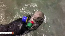 This Otter Loves To Stack Cups
