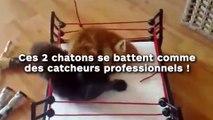 Ces 2 chatons se battent comme des catcheurs professionnels !