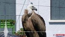SAVOIE: Capture du vautour à Aix-les-Bains : « Je l'ai gardé contre moi avant qu'il ne se débatte trop »