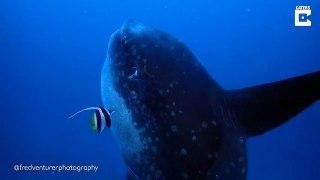 L'un des plus gros poissons du monde filmé par des plongeurs - Mola Mola