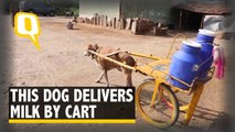 Mani, The Dog Delivers Milk By Cart
