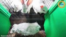 L214 diffuse la vidéo choc d'un élevage de lapins !