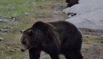 Un Français tué par un ours au Canada