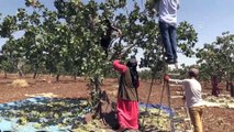 Boz Antep fıstığında hasat başladı - ŞANLIURFA