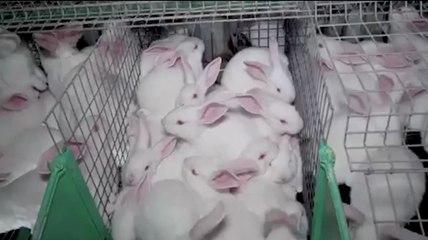 L'enfer des lapins surmédicamentés entassés dans des cages