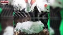 L'association L214 dénonce l'élevage des lapins en cage (vidéo)