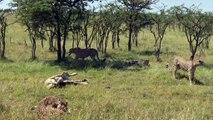 Cheetahs Chase and Take Down Zebra Foal