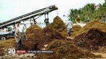 Mexique : des tonnes d'algues sargasses envahissent les côtes du pays