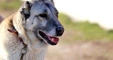 Cani adam kangal köpeklerini zincirle traktöre bağlayıp koşturdu! Olay cep telefonu kamerasına yansıdı