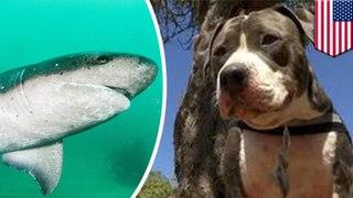 Pitbull VS Hiu: Pitbull selamatkan majikan dari serangan hiu - TomoNews