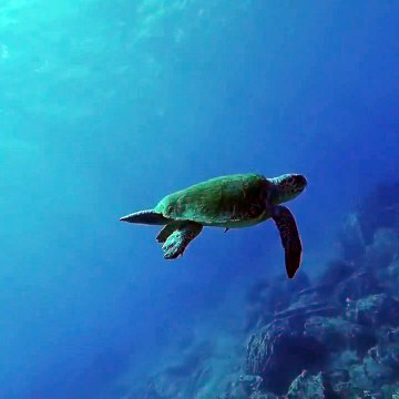 Relaxing Under Water Sea Turtle with sound