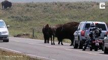 Ce bison charge une voiture sur la route !