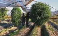 Giugliano (NA) - Marijuana coltivata tra gli ortaggi in azienda agricola, 2 arresti (21.08.19)