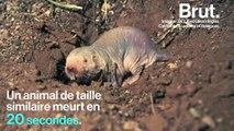 Le rat-taupe nu, un animal… très coriace