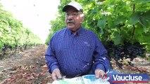 Raisin de table : la cueillette des muscats du Ventoux a commencé