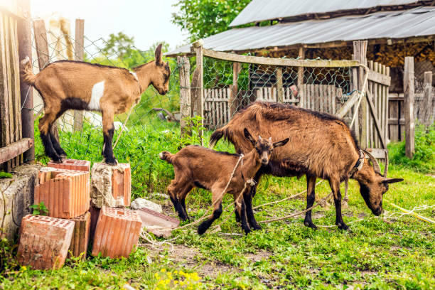 Goats Are Very Sociable Creatures