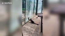 Capuchin monkey cracks tempered glass with stone at Zhengzhou zoo