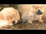 Chow Puppy Is A Ninja Warrior