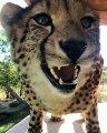 Incroyable ! Regardez ce que ce guépard arrive à faire avec son nez