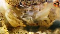 Freshwater crab vs tiger leech | Crabe d'eau douce vs sangsue tigre