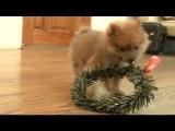 Christmas Wreath On A Pomeranian Puppy