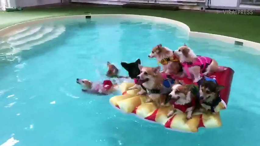Eight Corgis Float On Inflatable Pizza Slice