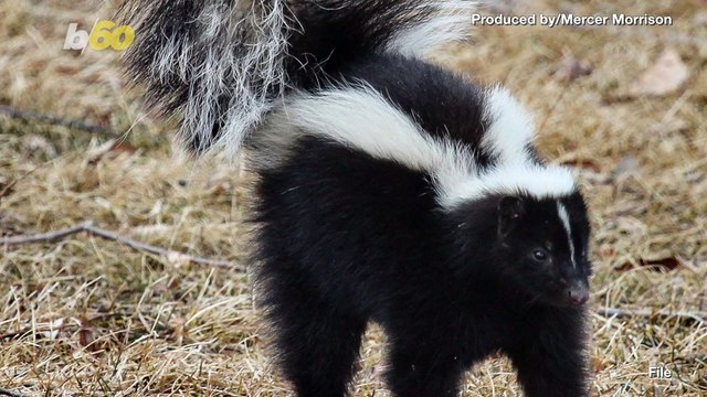 What a Stinker! MA Cop Frees Skunk with Cup on Head, Ends Up Getting Sprayed