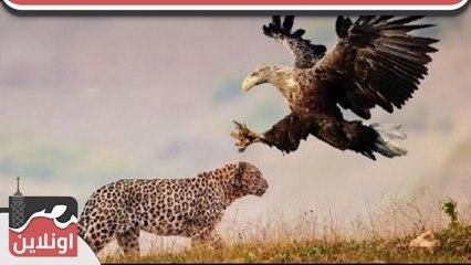 نسر يقتل صغير الفهد ولكن الفهد يفجأ النسر وينقض عليه