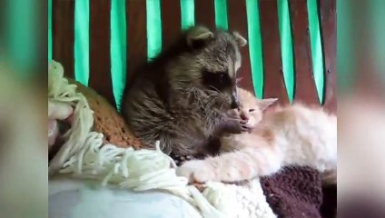 Funniest Raccoon Video Compilation of 2017 - Funny Pet Videos