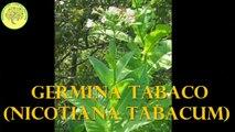 Como germinar tabaco (Nicotina tabacum)
