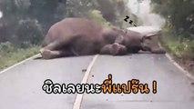 พี่ช้างเขาเขียว นอนขวางถนนสบายใจเฉิบ กว่าจะลุกได้นานเลย