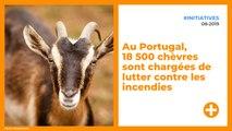 Au Portugal, 18 500 chèvres sont chargées de lutter contre les incendies