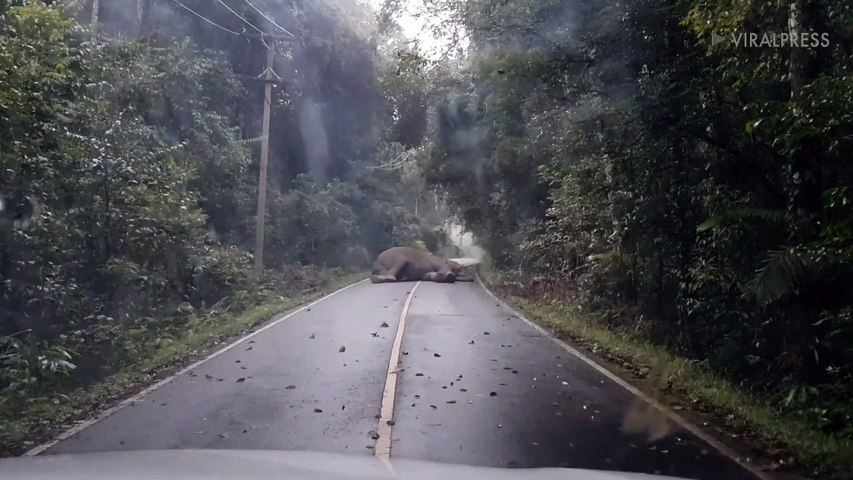 wild elephant SLEEPS in the middle of the road