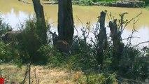Lions Ambush And Hunt Kudu In Riverside