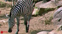 CROCODILE AND LION DESTROY ZEBRA - A Bad Day For Young Zebra When Crossing River