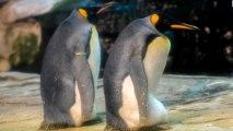 La pareja de pingüinos machos en el zoo de Berlín.