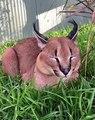 Kato le chat sauvage n'est pas du tout impressionné par la visite rapide de Kaia pour le toiletter !