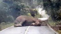 Elefant macht Nickerchen auf Highway